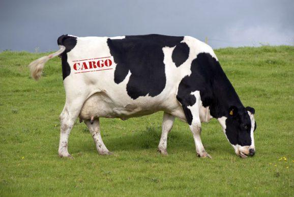 Qatar Airways Cargo transportará 4.000 vacas